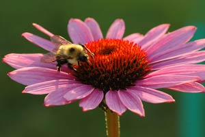 Bee on Coneflower by Lisa Klare Photography